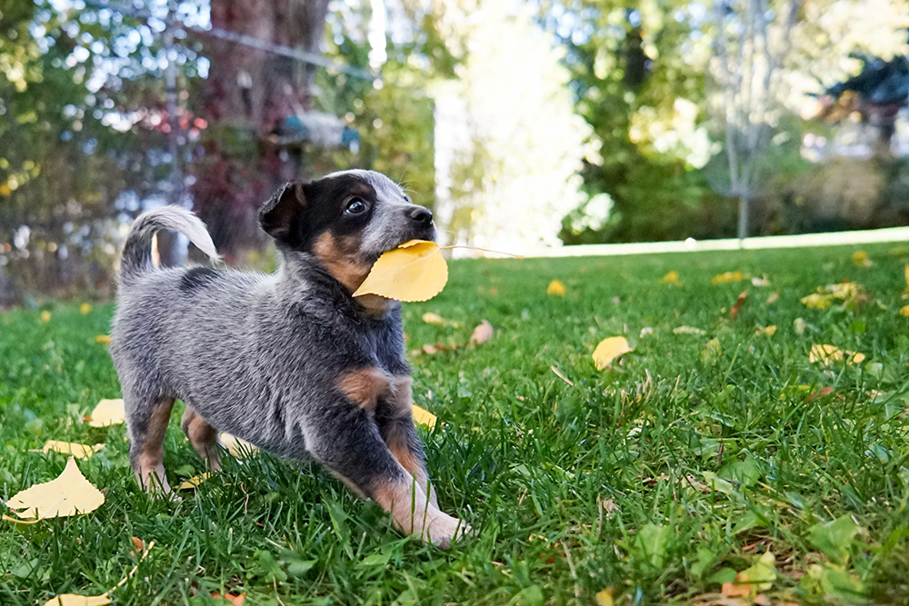 cute puppy playing with a leaf in it's mouth in a fenced in yard