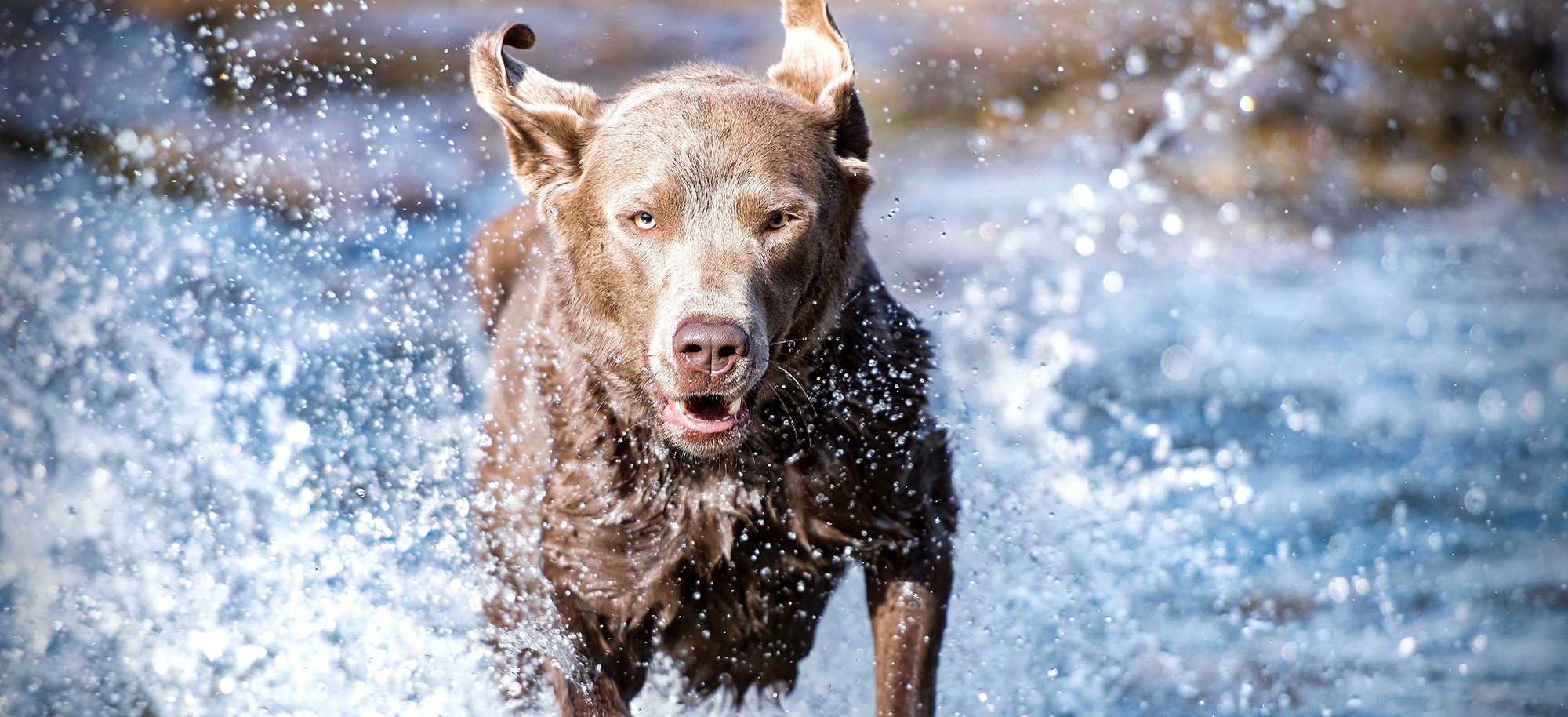 large brown dog running through water and splashing