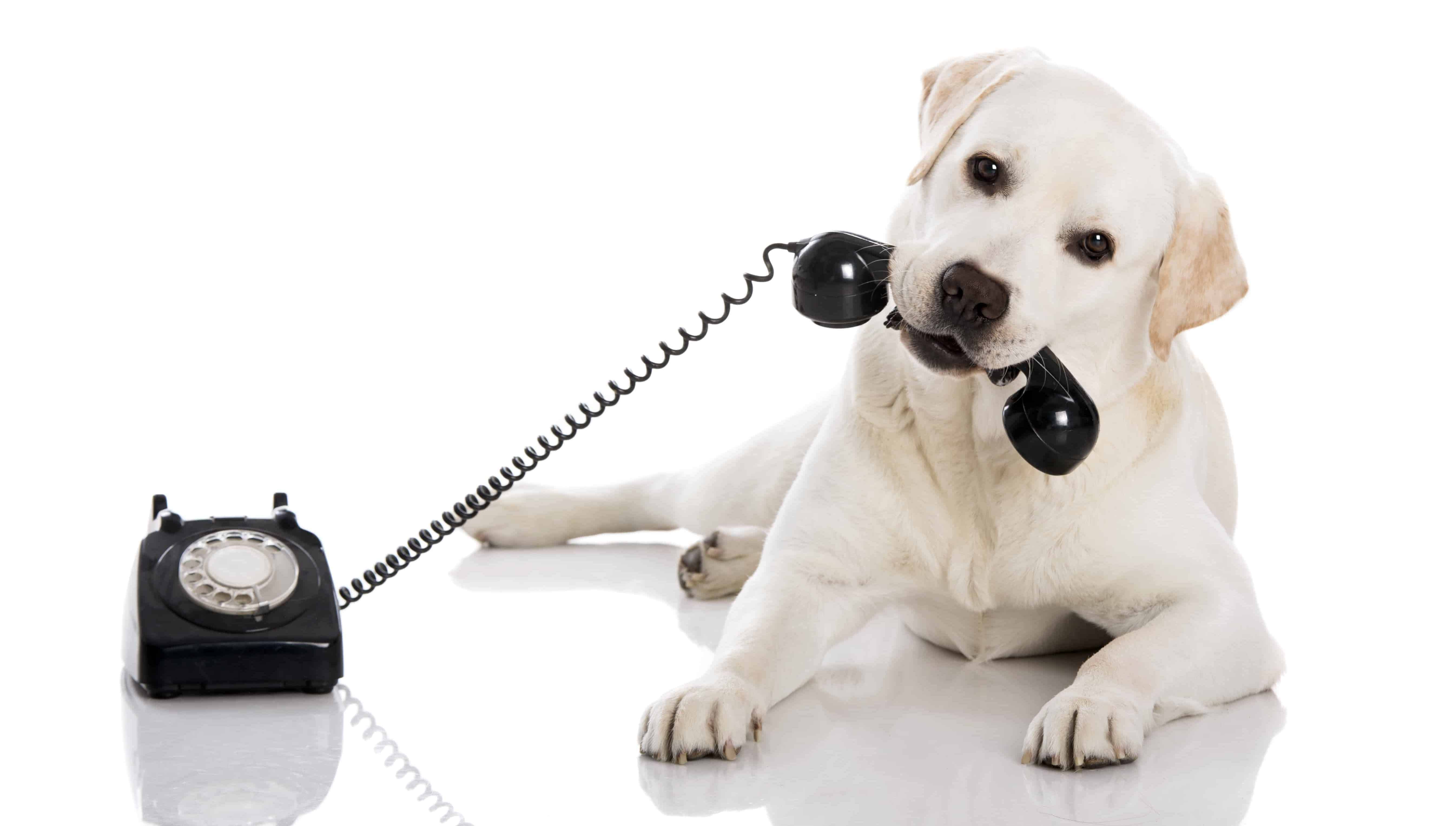 white Labrador dog holding a phone in its mouth